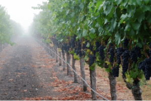 Sangiacomo Robert's Road Vineyard in Sonoma County